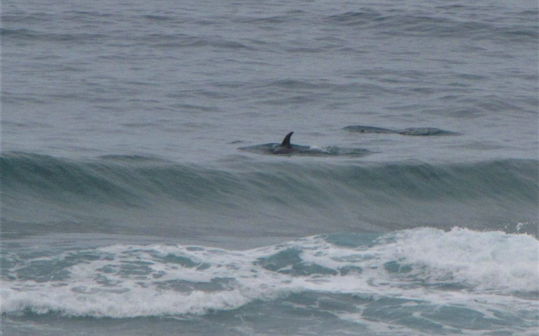 Dolphin- Surf safari on Cordoama