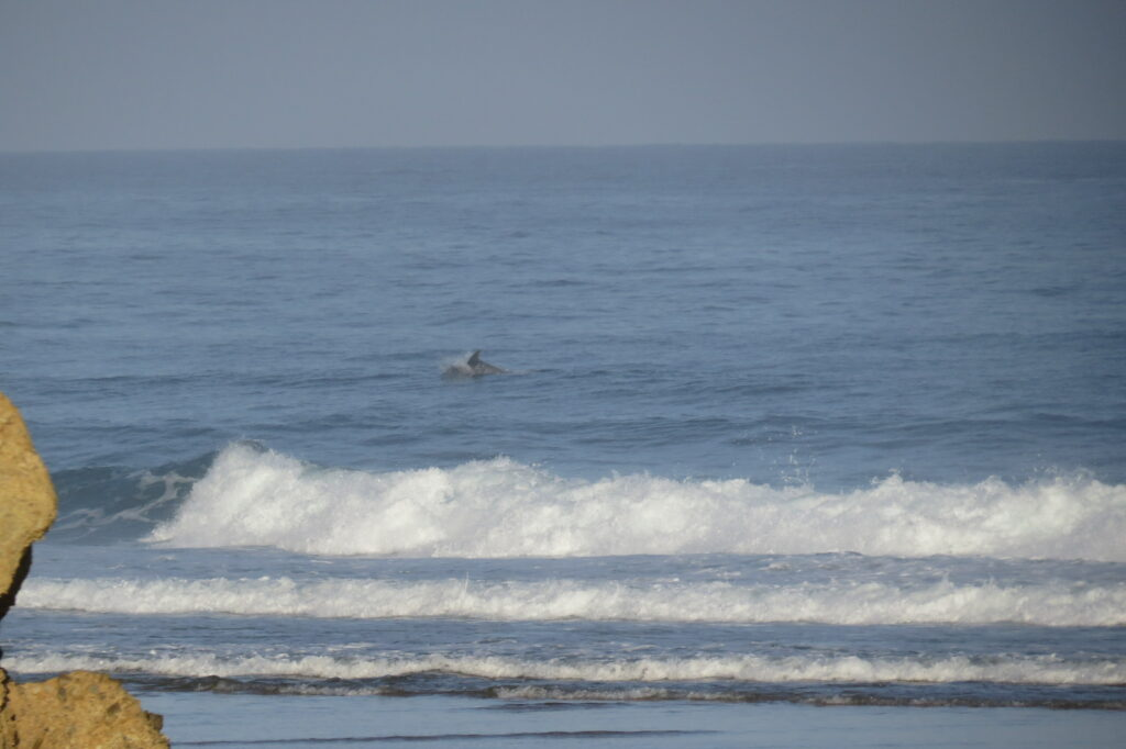 dolphin-watching-algarve-surfguide-