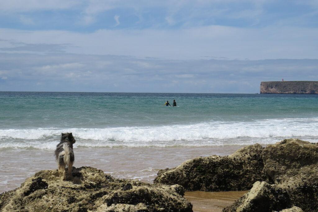 tonel surf dog surfguide algarve